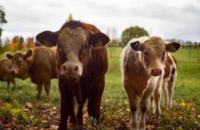 генно-отредактированный скот