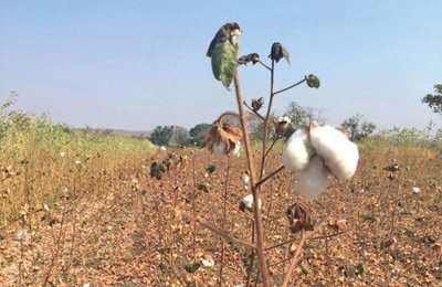 неурожай ГМО хлопка