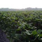 табак без ГМО