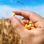 семена кукурузы в ладонях