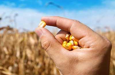 кукуруза в руках