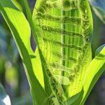 отредактированная кукуруза
