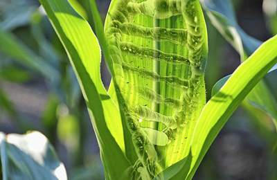 редактированная кукуруза