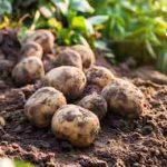 картофель на грядке