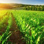 светлое поле с кукурузой