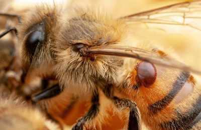 пчела с клещом