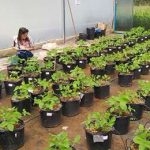 исследователь изучает ГМО-сою