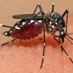 комар против денге