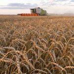 покос пшеницы