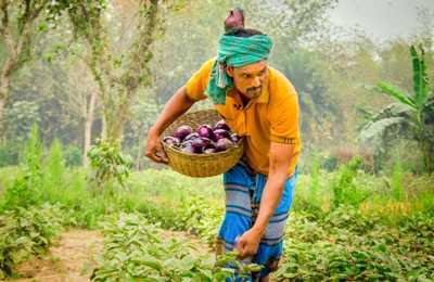 в Индии собирают баклажан