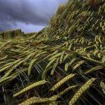 поле с зеленой пшеницей