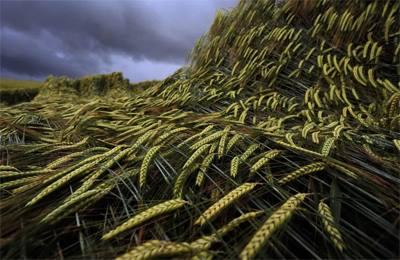 Швейцария поле с пшеницей