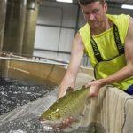 выращивание лосося