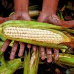 мексиканец держит кукурузу
