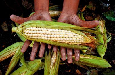 Мексика кукуруза ГМО