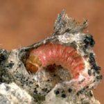 хлопковый червь поедает хлопок