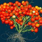 томаты CRISPR