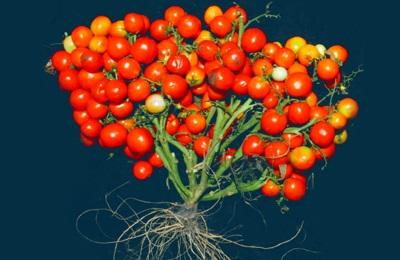 помидоры CRISPR