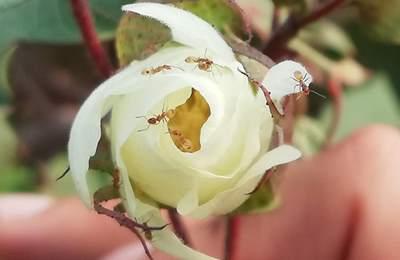 цветок дикого хлопка