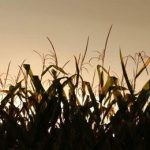 поле кукурузы вечером