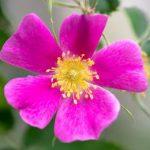 цветок шиповника иглистого