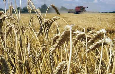на уборке пшеницы