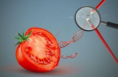 генно-отредактированный помидор